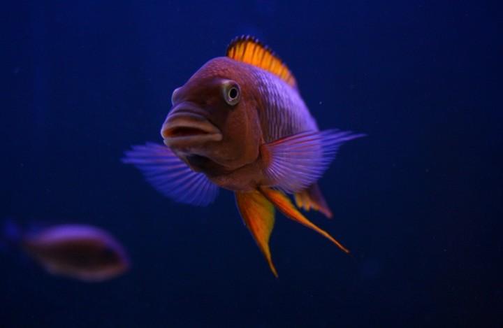 Petrochromis-famula