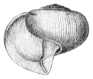 Limacina helicina vista apertura