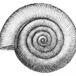 Limacina helicina vista apicale