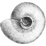 Limacina helicina vista ombelicale