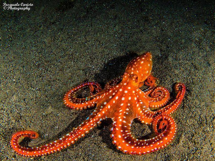 Octopus macropus Polpessa,Callistoctopus macropus
