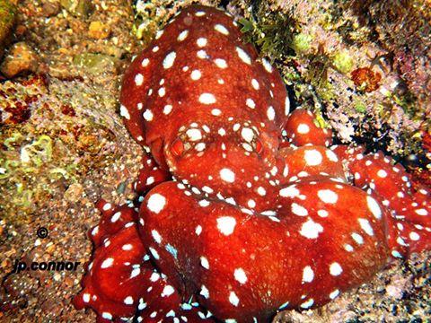 Octopus macropus ,Polpessa Callistoctopus macropus Cap Roux - Foto di J. P. Connors