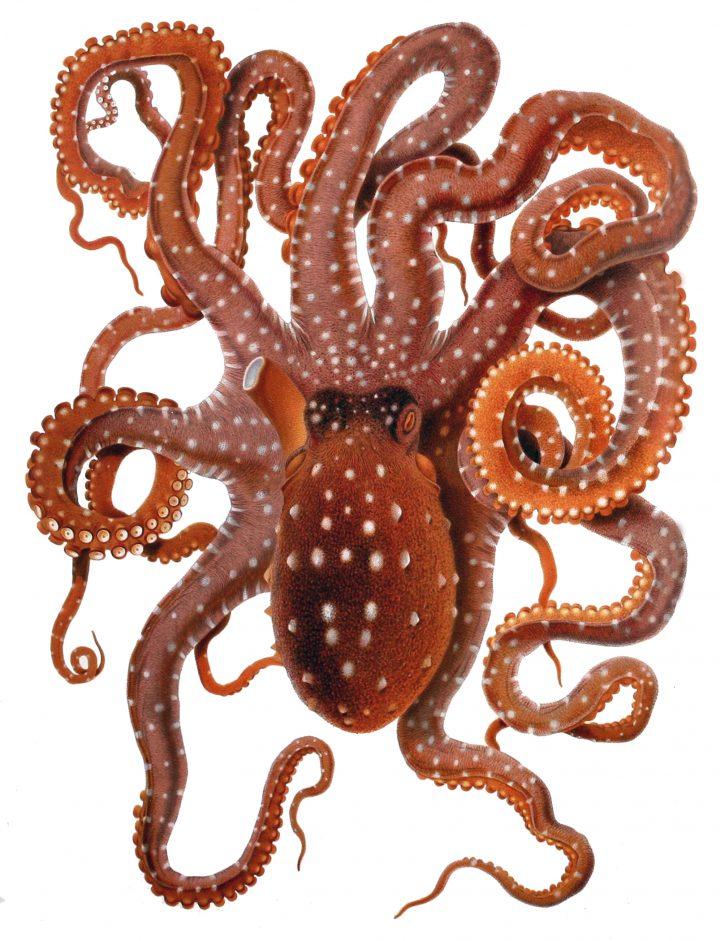 Octopus_macropus- Callistoctopus macropus