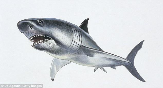 Megalodon, (Carcharocles Megalodon) a 50 tonnellate specie estinta di squali che vivevano tra l'Eocene e Pliocene. Il nuovo studio suggerisce M. paradoxodon e C.megalodon sono in realtà cugini