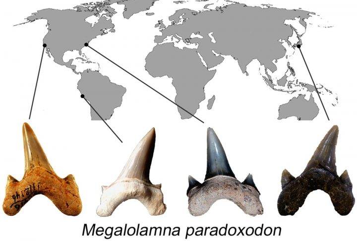 Megalolamna paradoxodon