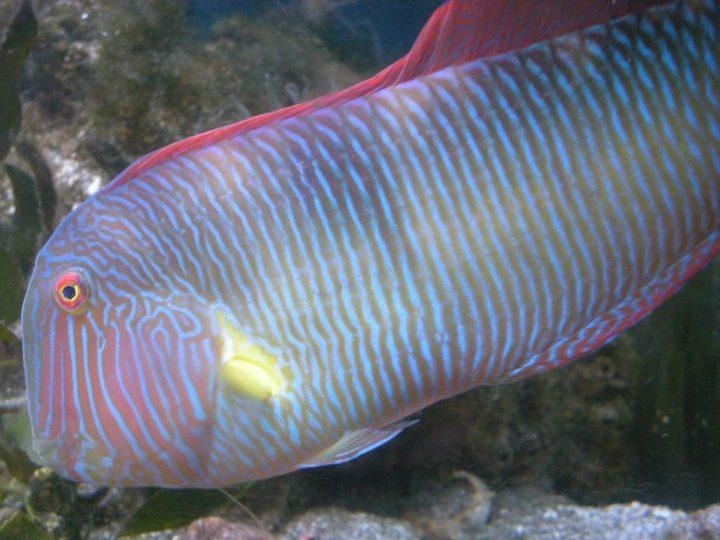 Xyrichtys-novacula-Pesce-pettine