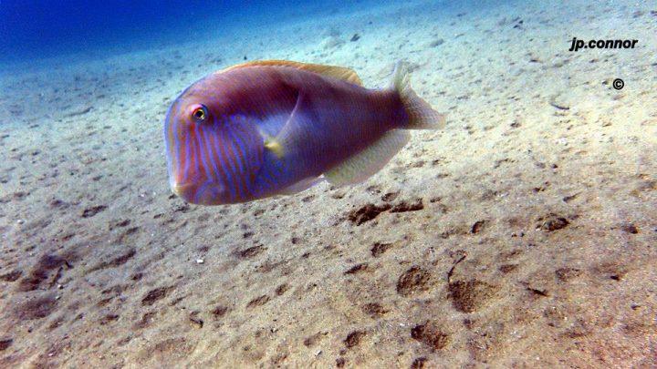 Xyrichtys novacula ,Pesce pettine - FEMMINA -Foto di John Paul Connor
