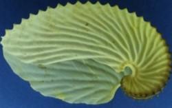 Argonauta Argo
