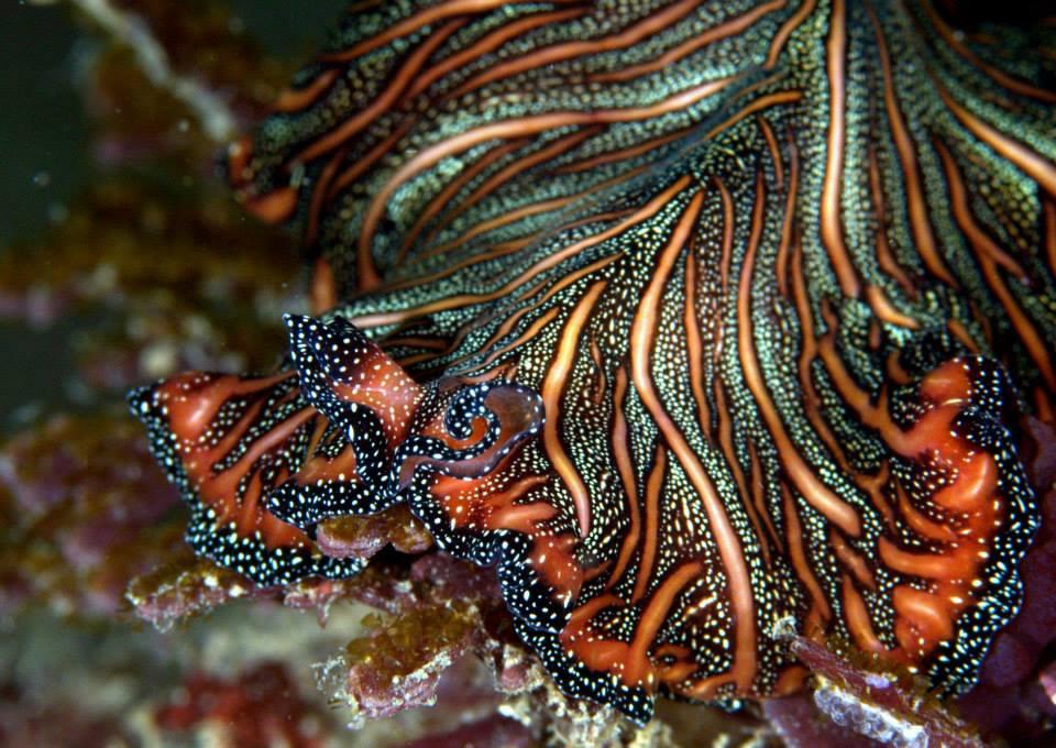 Pseudobiceros bedfordi, tappeto persiano Foto di 李建佑